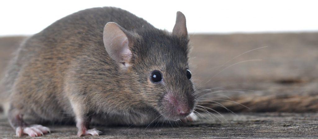 Critter Ridder Lake Travis Rodent Control