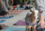 GOGA Goat Yoga - Bee Cave TX